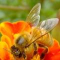 金盏菊与蜜蜂