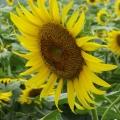 110715齐花园向日葵