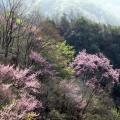 太清谷的紫荆花1