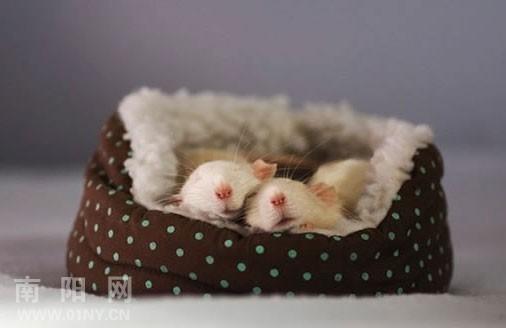 很q很可爱的小老鼠