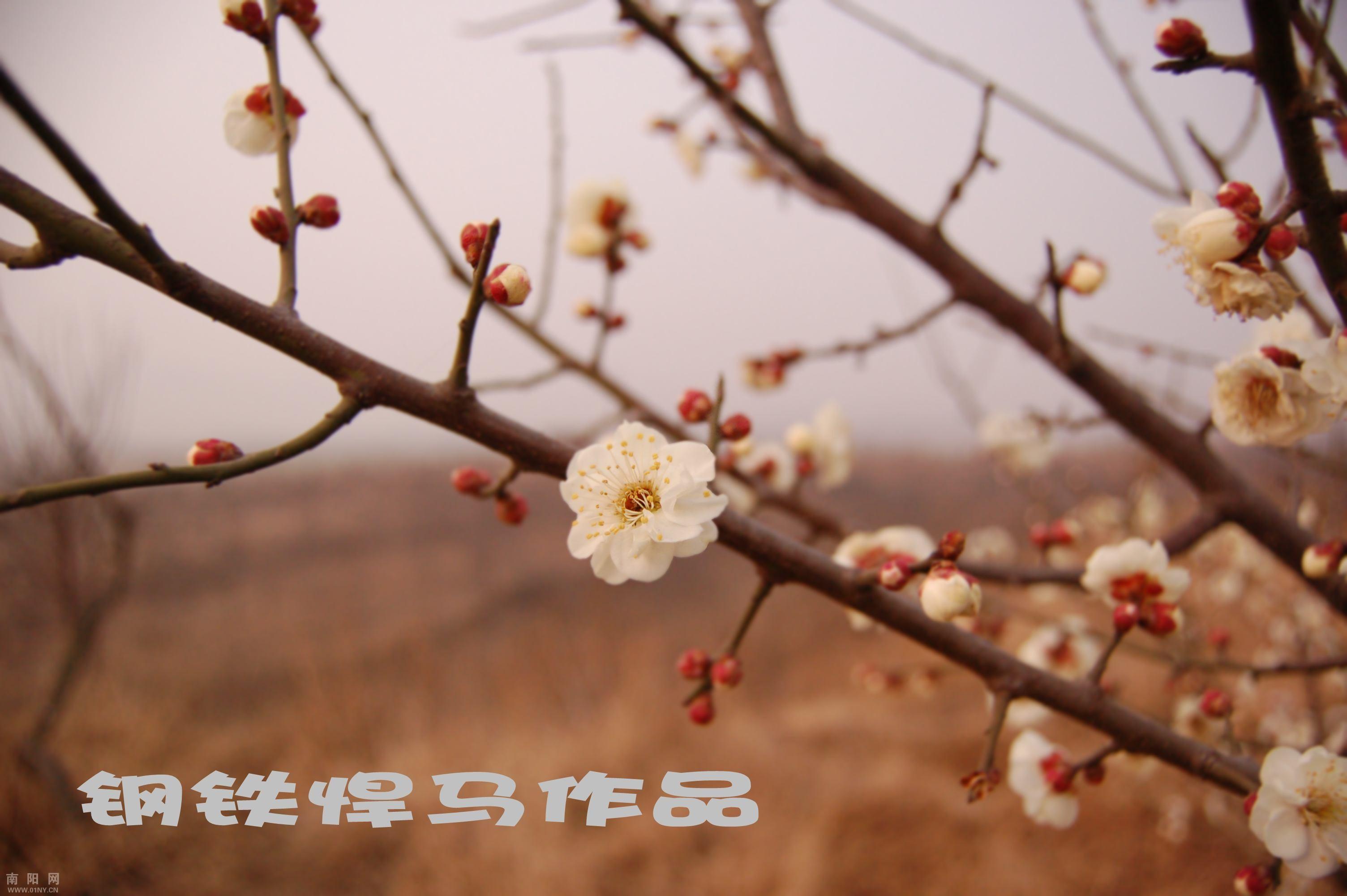 初学乍道拍梅花 花卉草木 36行社区 bbs.01ny.cn -初学乍道拍梅花