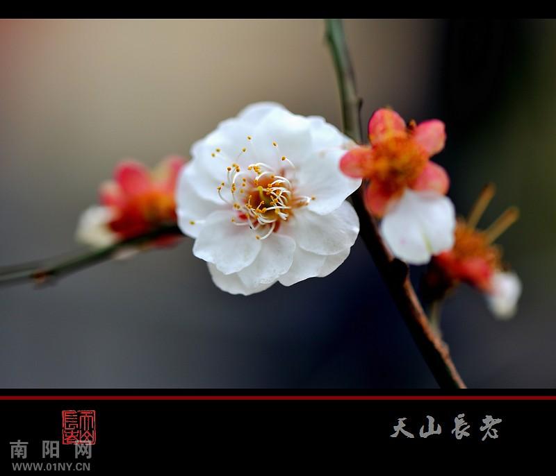 梅花点点迎新春 花卉草木 36行社区 bbs.01ny.cn -梅花点点迎新春
