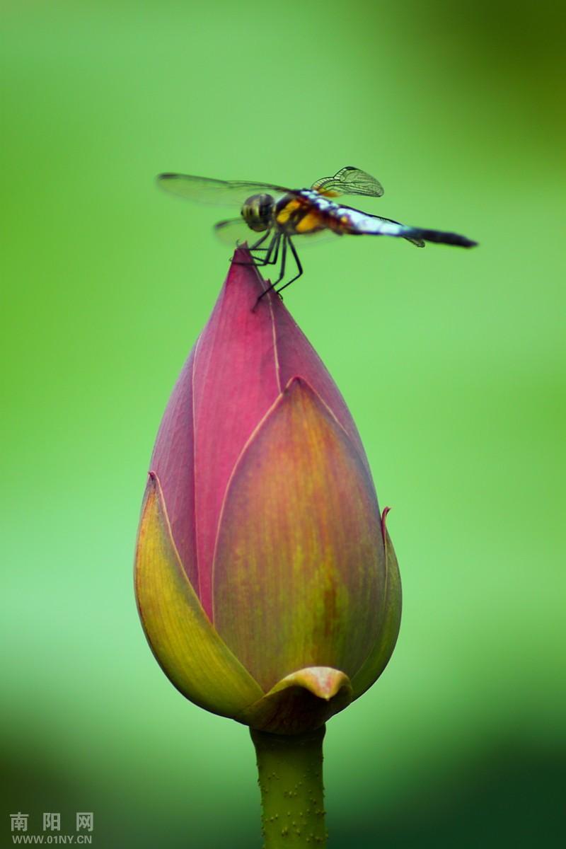 荷花蜻蜓.jpg