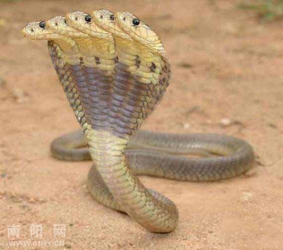 奇观,五双头蛇在印度被发现-南召说吧-36行社区