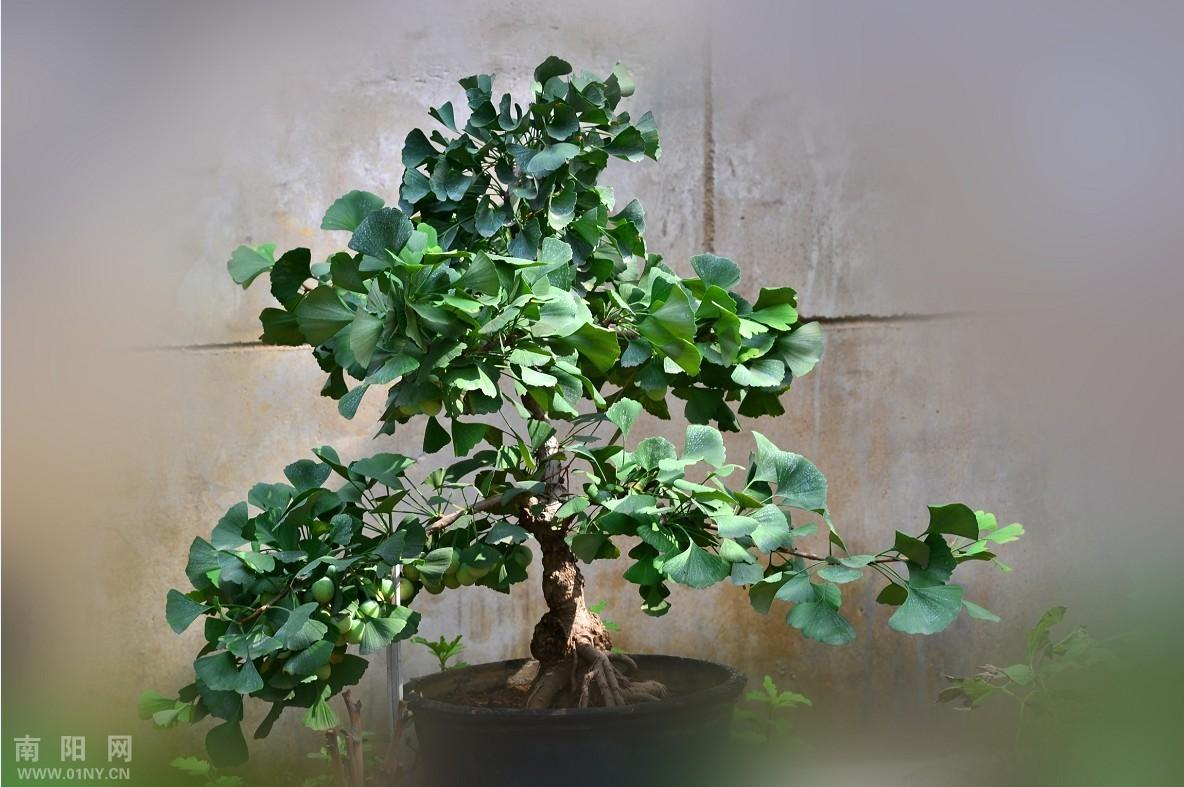 两棵银杏树-花卉草木-36行南阳社区-36.01ny