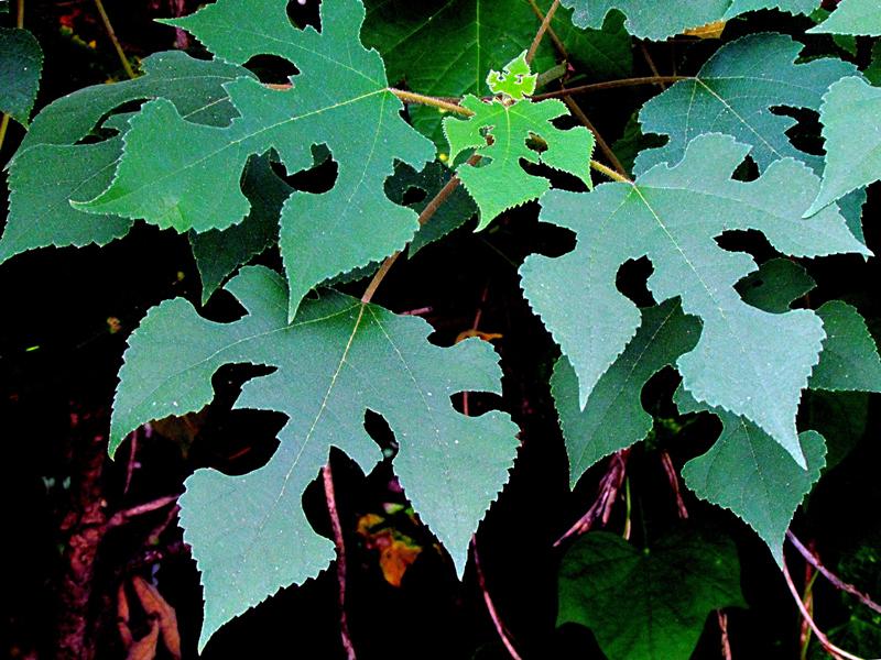 【花卉摄影--《构树的叶子--正面与反面》--2p】