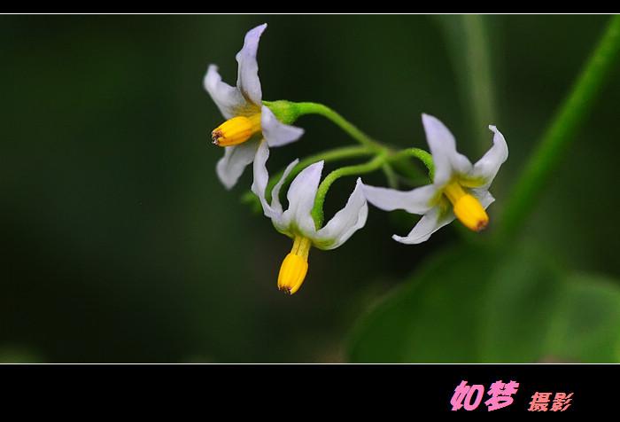 再发紫果花 花卉草木