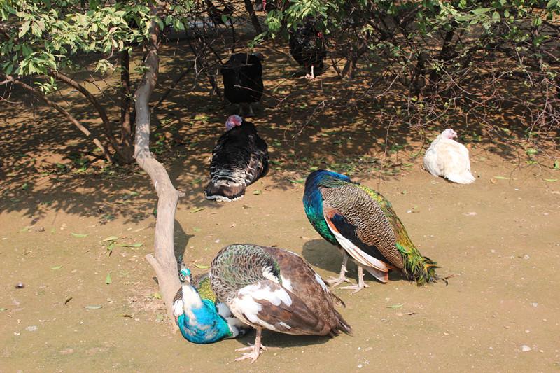 郑州动物园孔雀一组