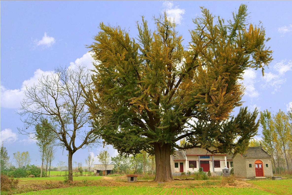 我和家乡的银杏树_乐乐简笔画