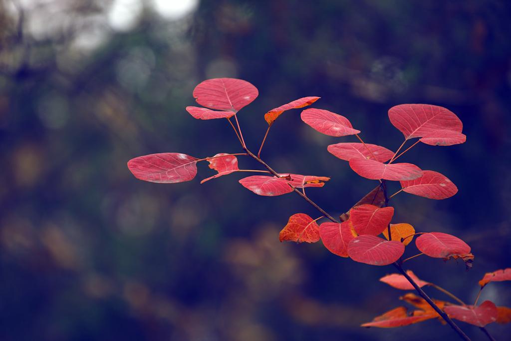 片片红叶总关情,一叶一菩提图片