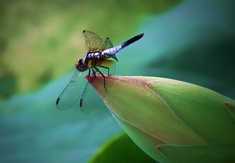 蜻蜓恋荷2.jpg
