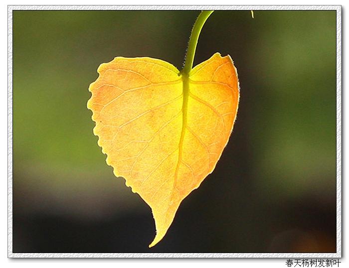 简笔画树叶的画法_各种树叶的简笔画