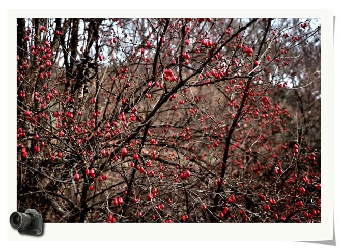 奇石怪树似乎失去了诱惑力,挂满枝头的野生山茱萸张扬着鲜红欲滴,小巧
