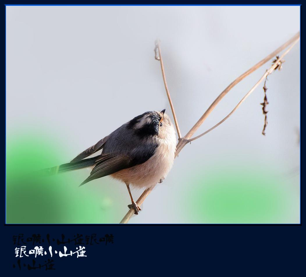银喉小蝌蚪牛蛙山雀越冬v蝌蚪图片