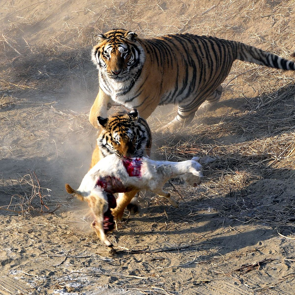 冬天里的童话——老虎和小羊