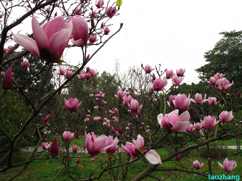 69 【光影中国】 69 新手图集 69 华南植物园---木兰园2  邓州