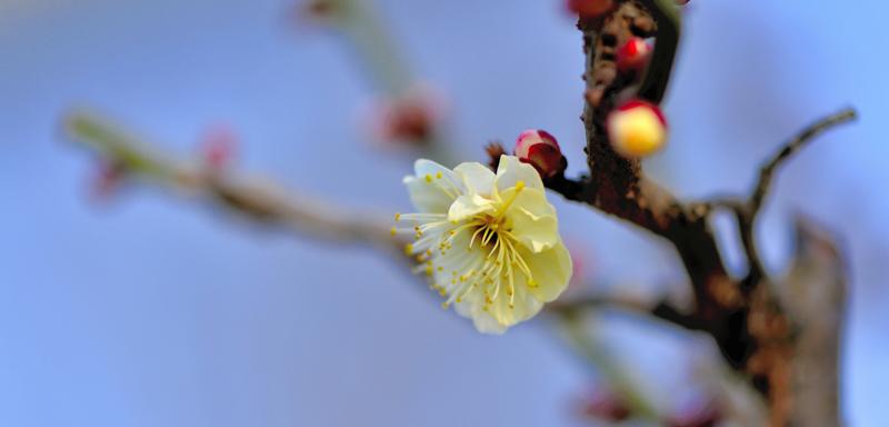 12 塔子山的梅花 花卉草木 36行社区 bbs.01ny.cn -2012 塔子山的梅花