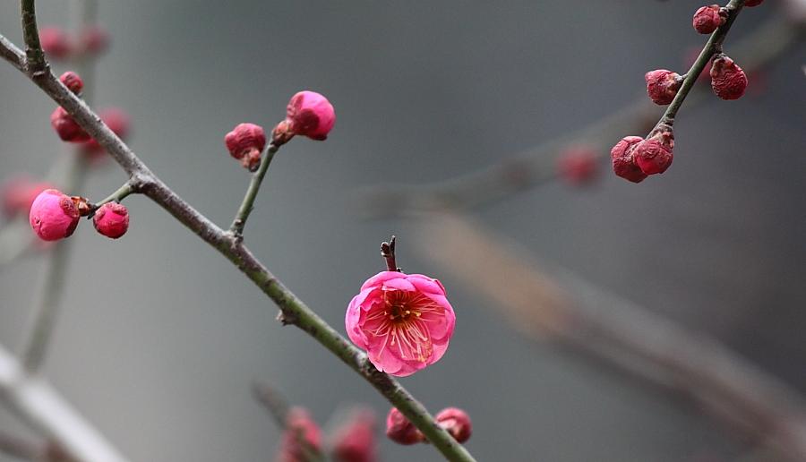 梅花 花卉草木