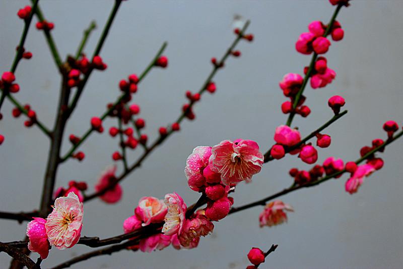 自家的梅花 花卉草木