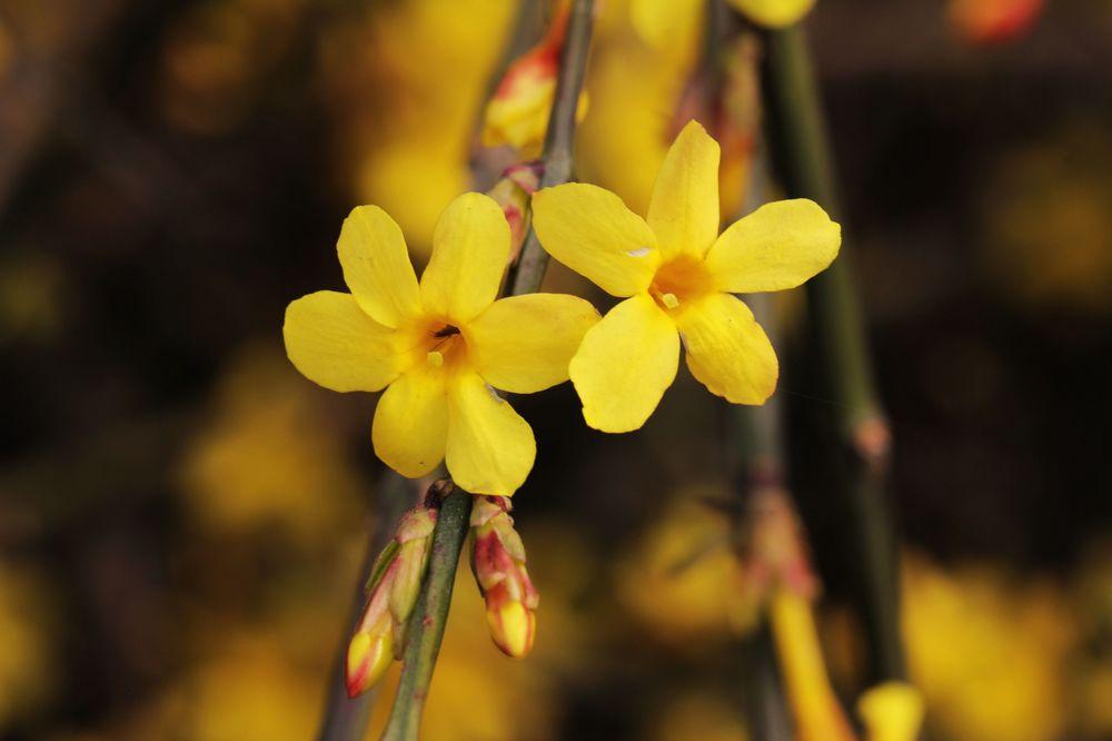 【桐柏】-一组迎春花