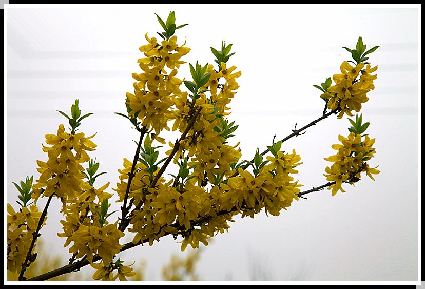春天的花(三)迎春花