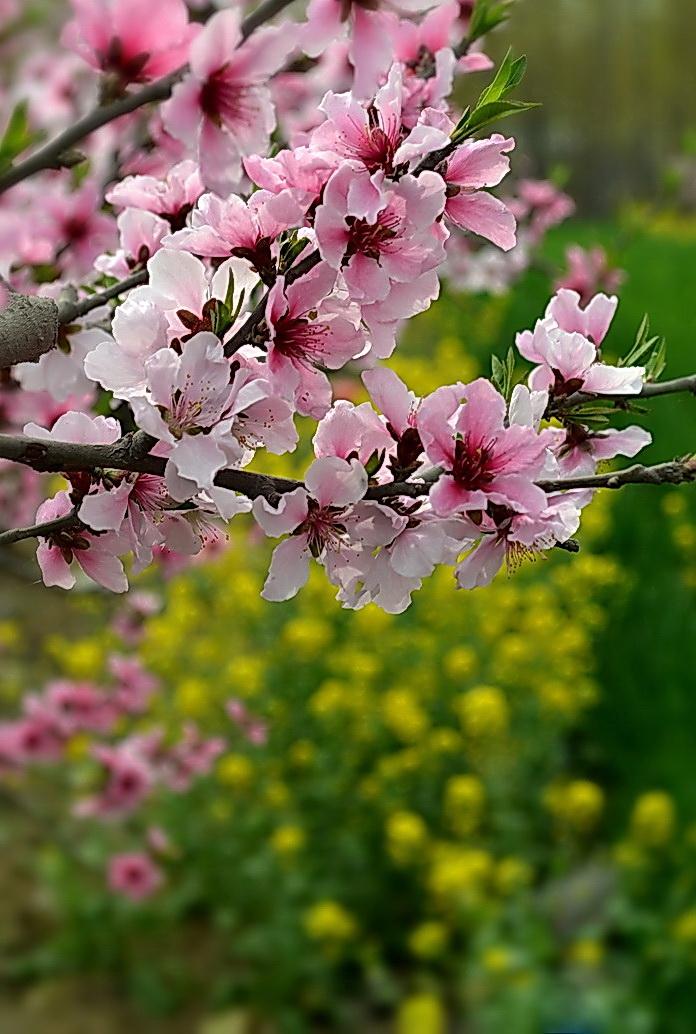 2012年4期月赛《春天的故事》——桃花闹春