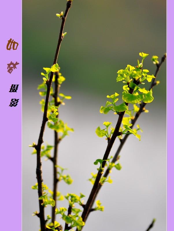 春天的银杏嫩芽