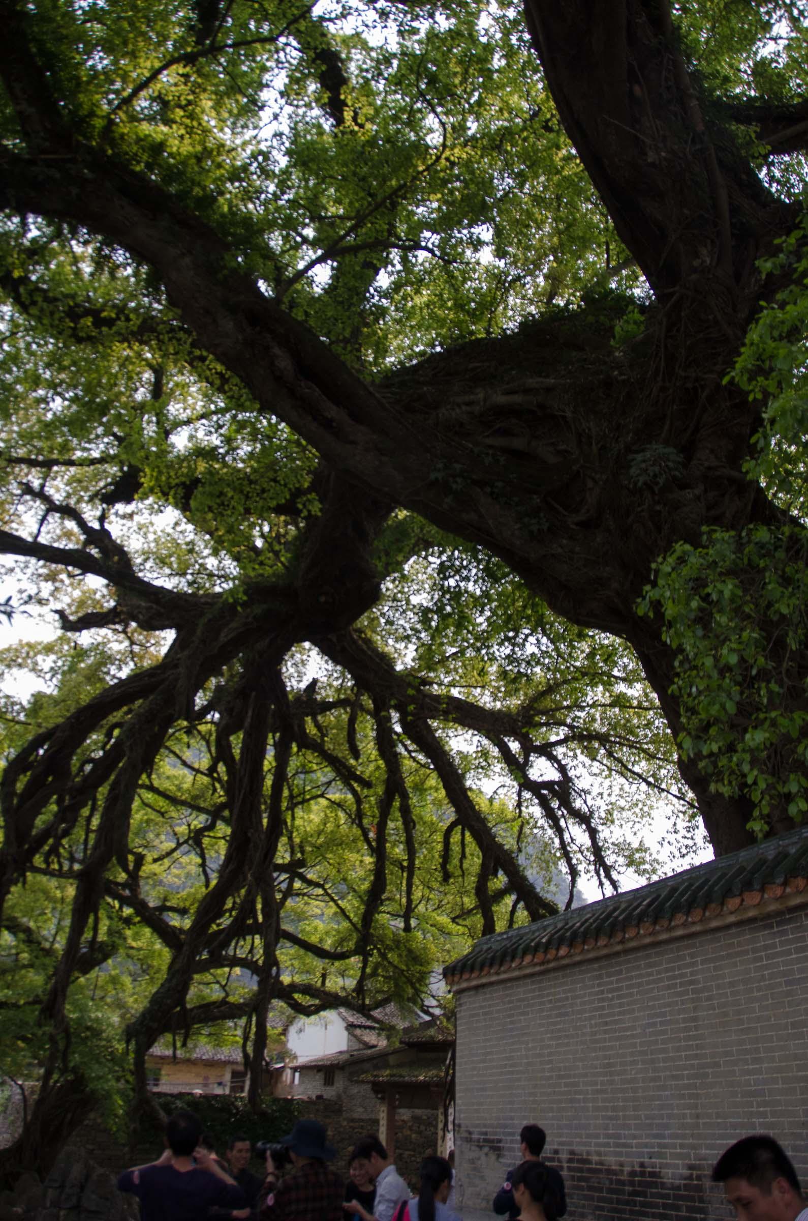 巨大的古树标志着古镇的悠久历史,令人叹为观止.
