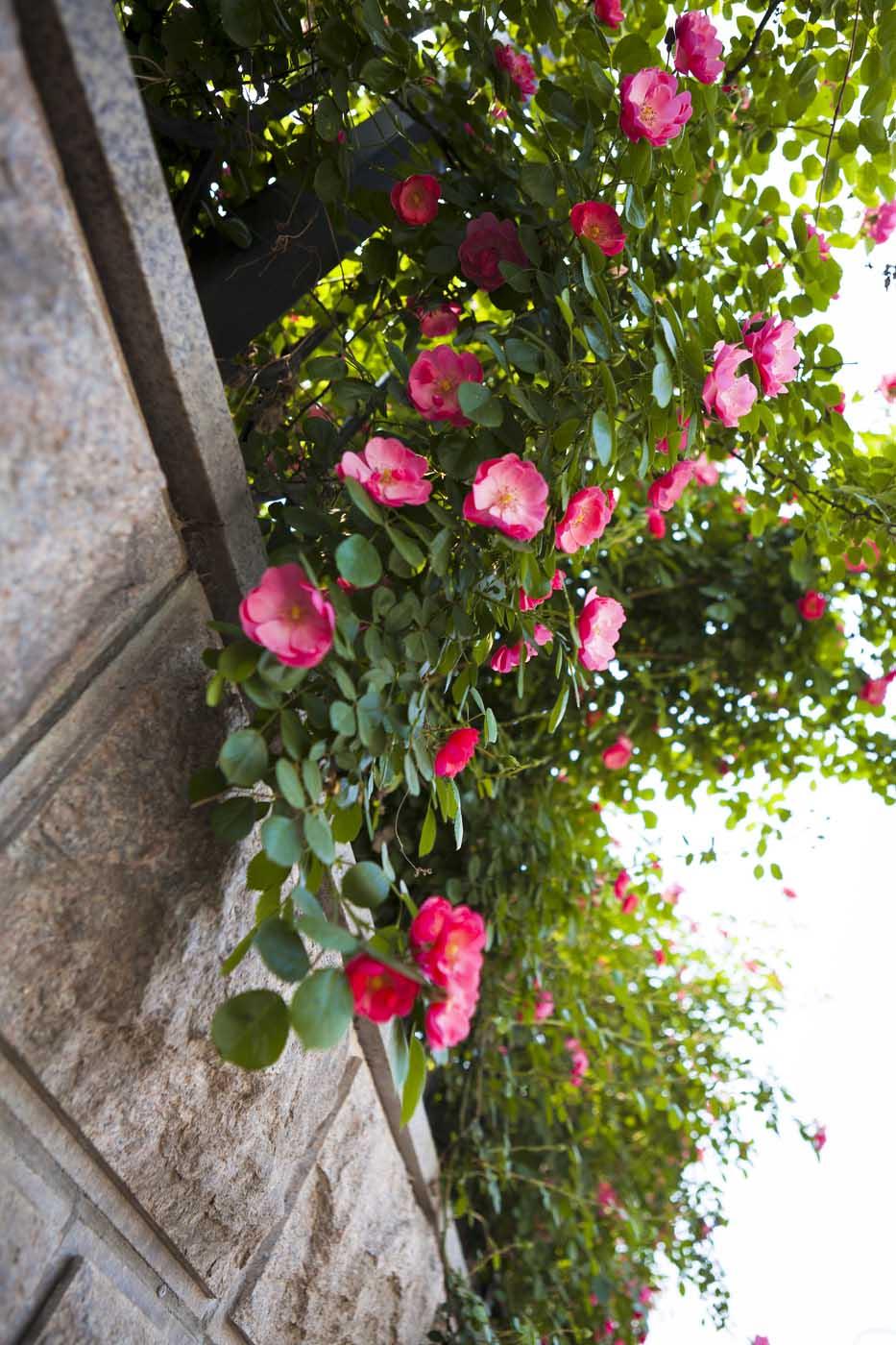 【原创】永恒的微笑------蔷薇花