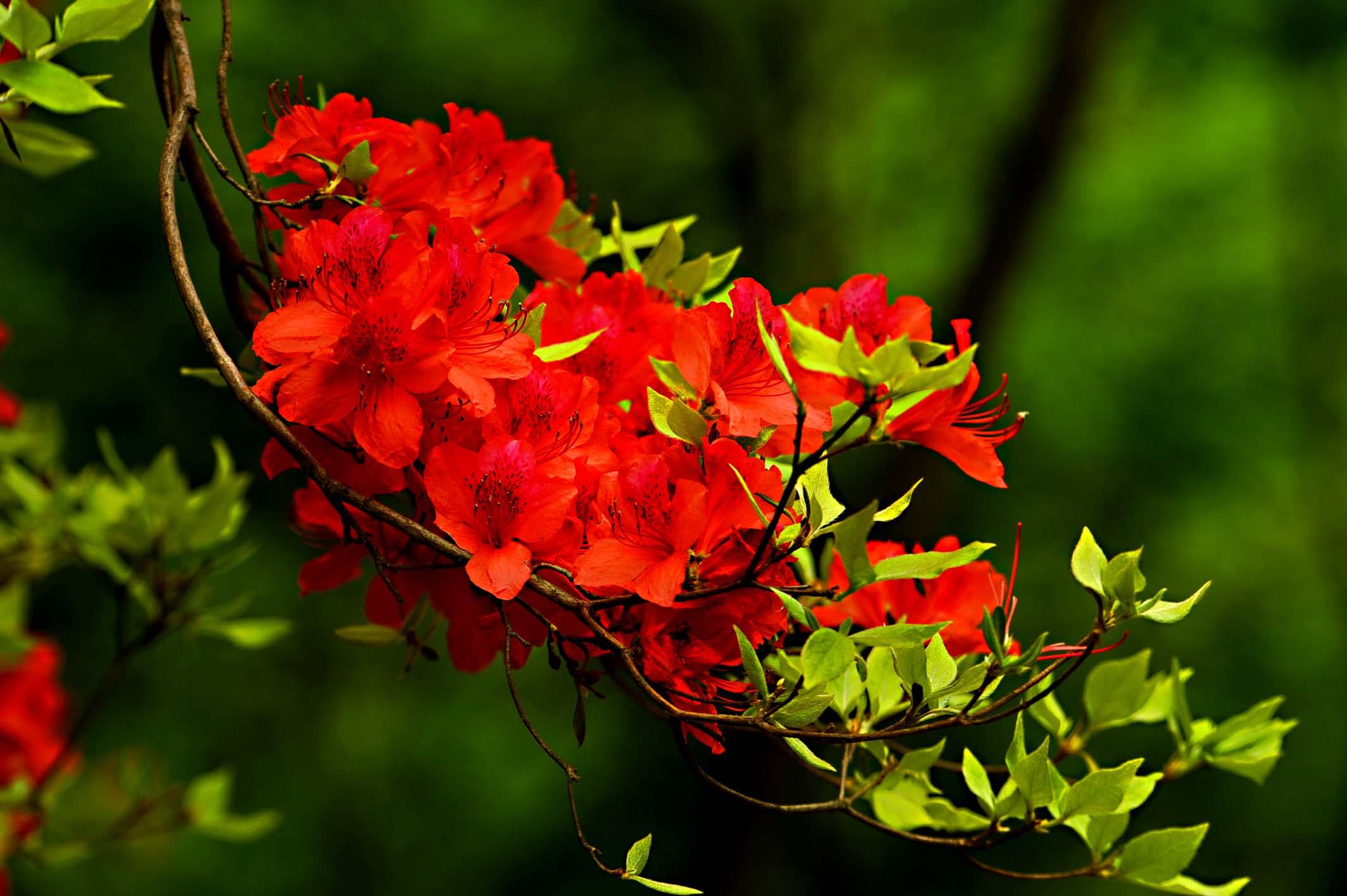 镇平北顶五朵山杜鹃花开红艳艳,在春天里等你.