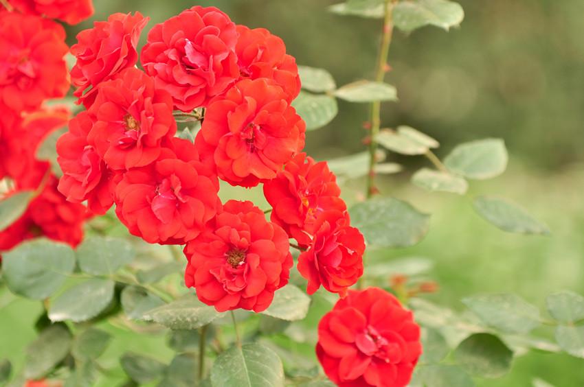 花中皇后 月季 花卉草木
