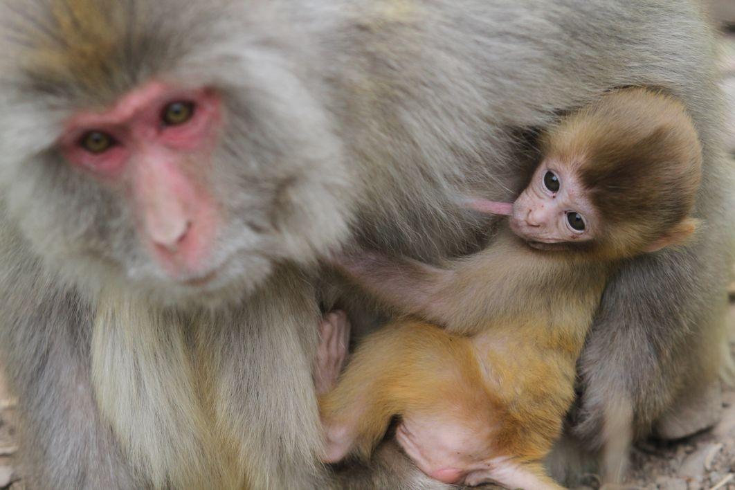 猕猴是几级保护动物