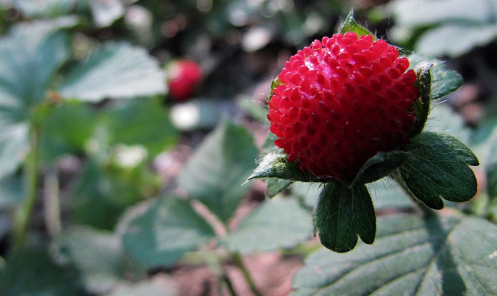 dnf野草莓