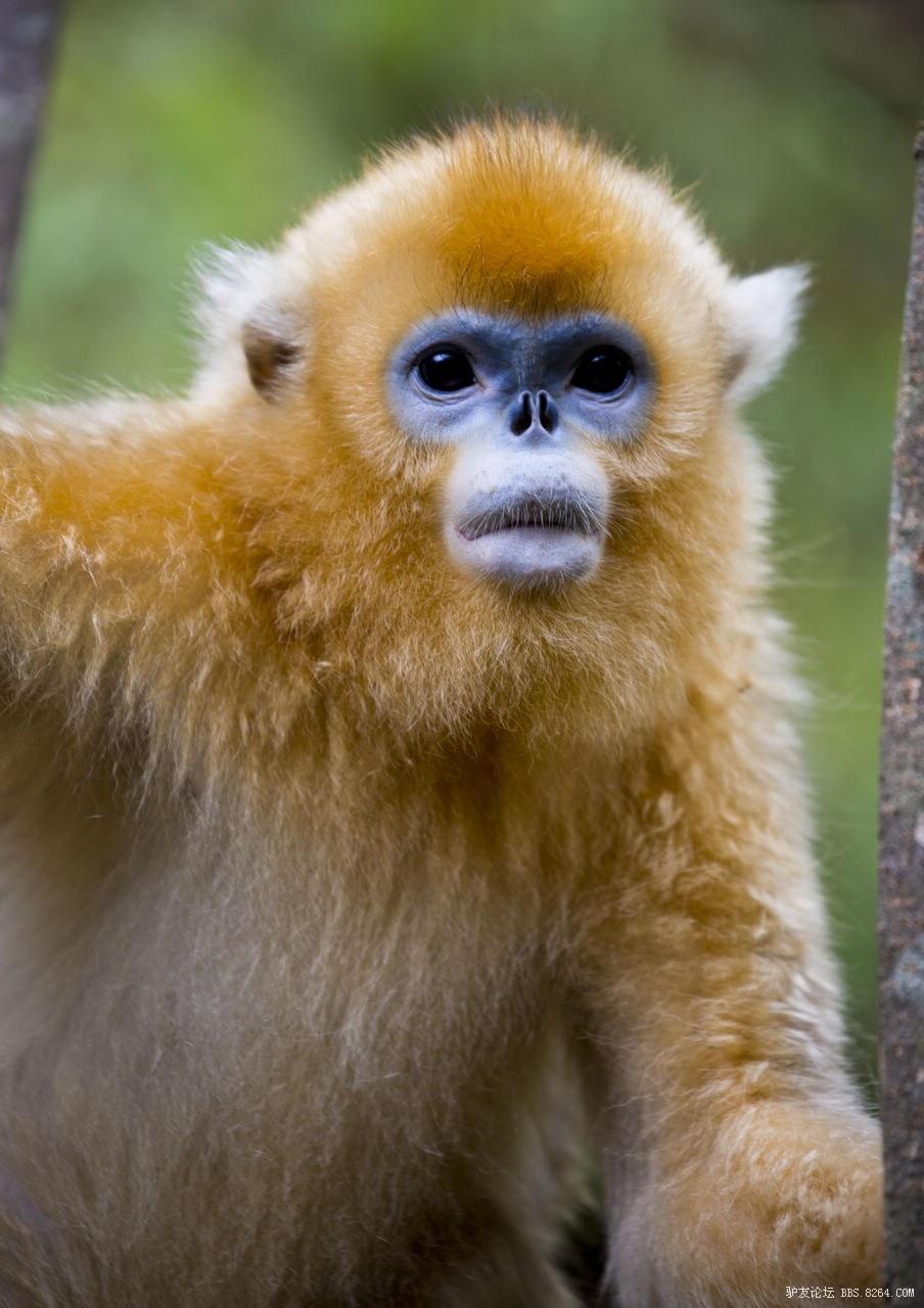 因为它最早被发现,所以习惯上就把这一种类的猴子都叫金丝猴,其实除了