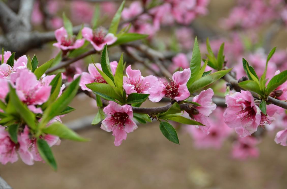 油桃施用有机肥的作用