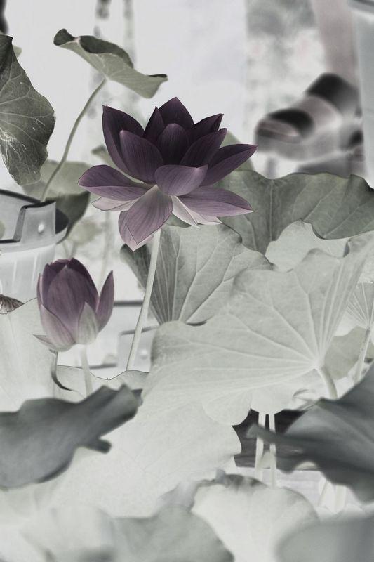 水墨 荷花 花卉 草木
