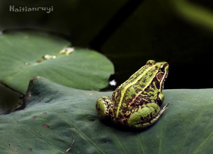 池塘里的青蛙 精彩欣赏