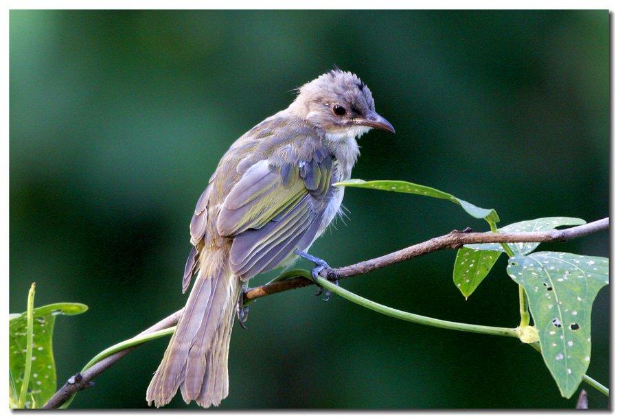 白头鹎幼鸟