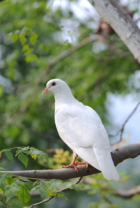 可爱的鸽子