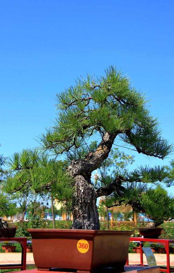 盆景 盆栽 树 松 松树 植物 573_900 竖版 竖屏