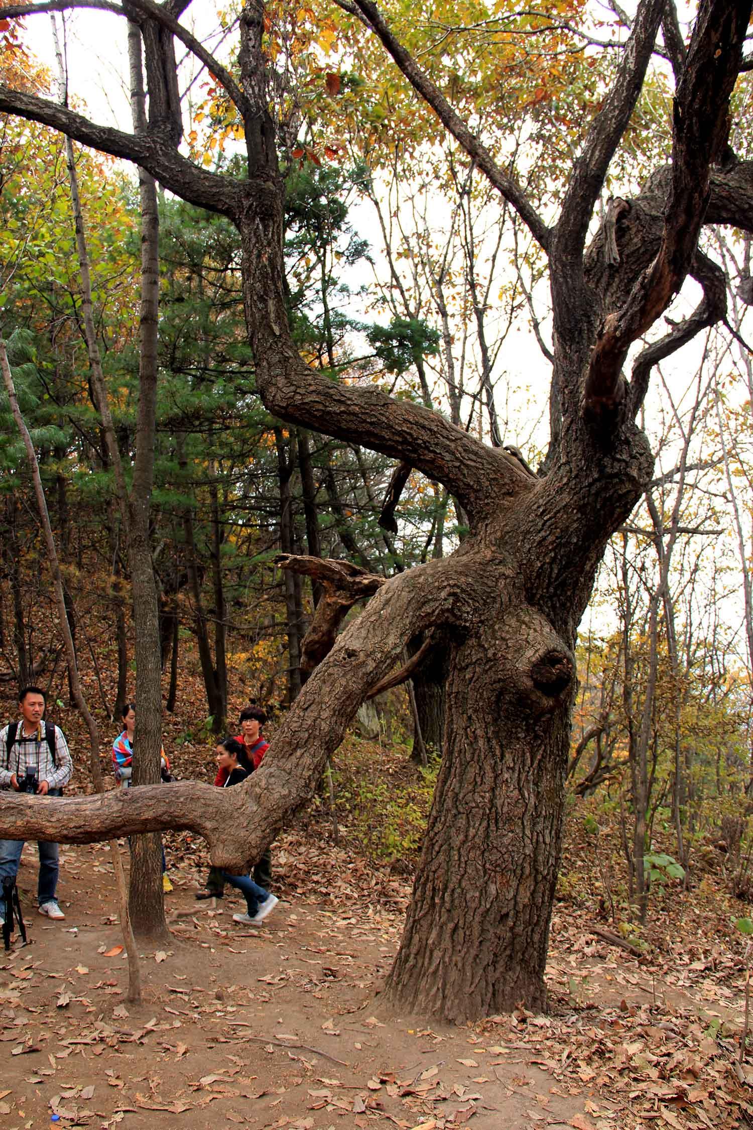 木扎岭原始森林的老树