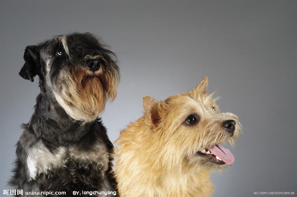 髯狗-髯狗图片;; 下载  宠物狗图片34>>[二星图片]; 宠物狗图片34