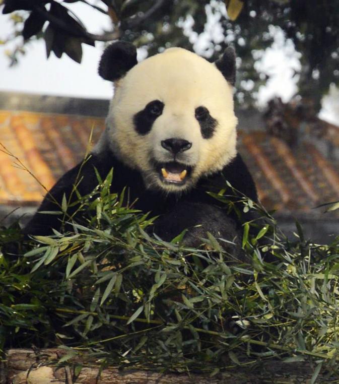 壁纸 大熊猫 动物 673_762