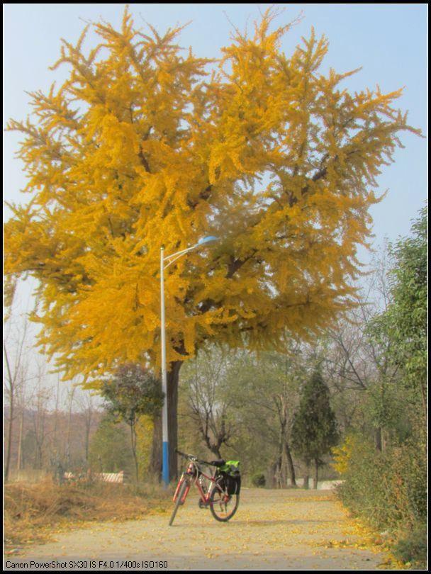银杏树的秋天