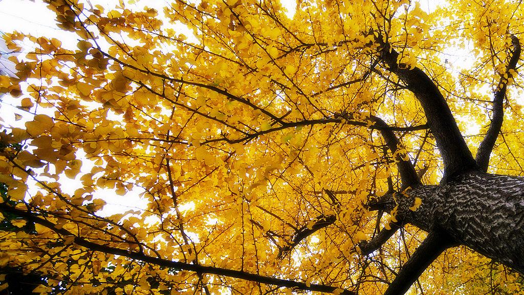 壁纸 风景 森林 银杏 银杏树 银杏叶 桌面 1024_576