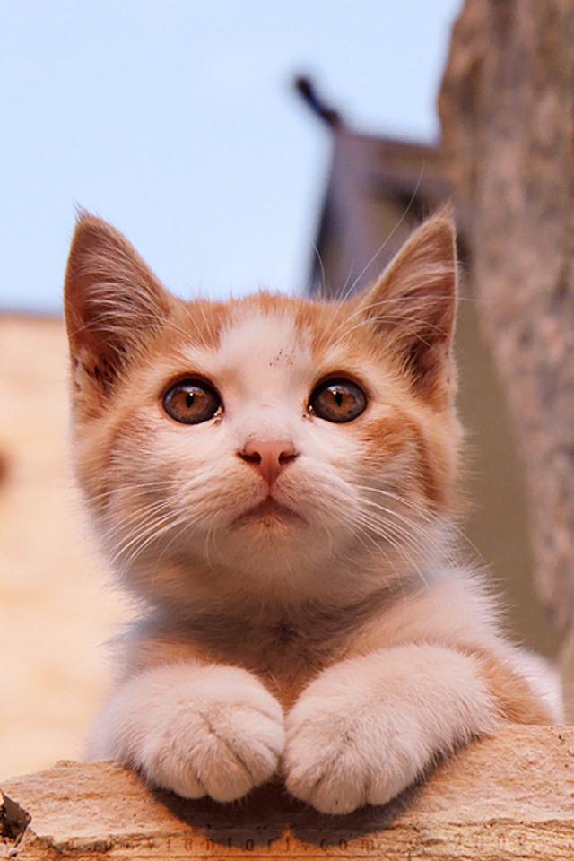 壁纸 动物 猫 猫咪 小猫 桌面 640_960 竖版 竖屏 手机