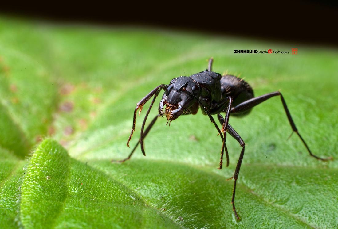 日本弓背蚁