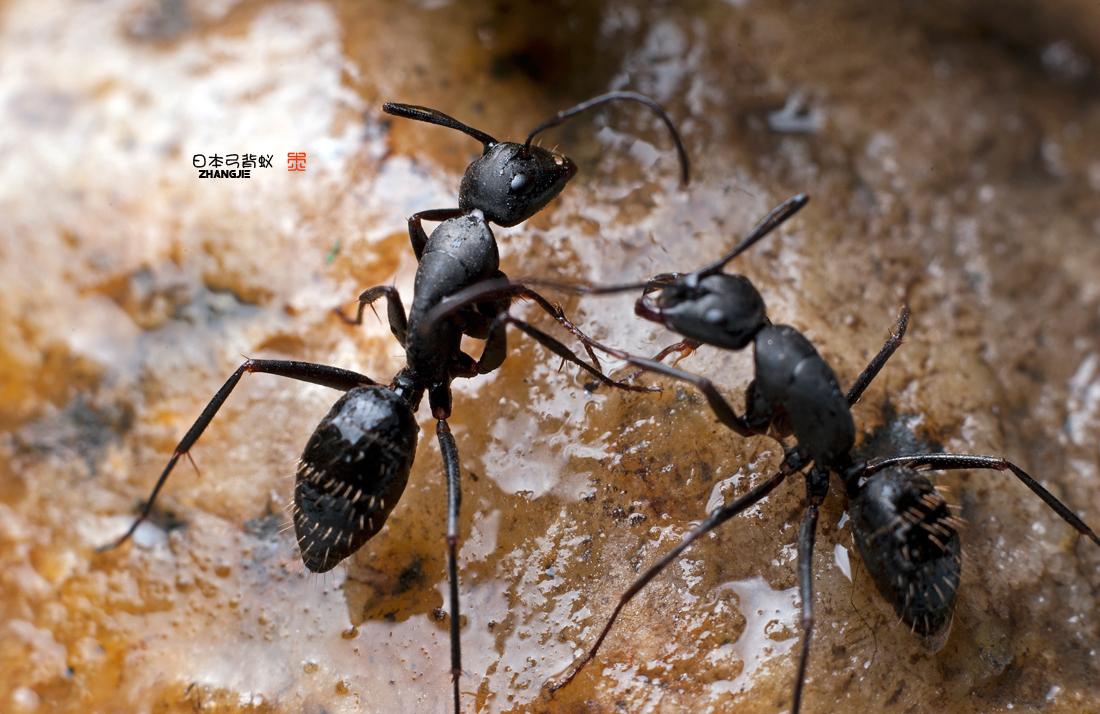 日本弓背蚁-微距-36行南阳社区-36.01ny.cn