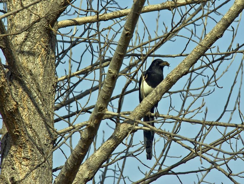树上的喜鹊-摄影资讯-36行南阳社区-36.01ny.cn