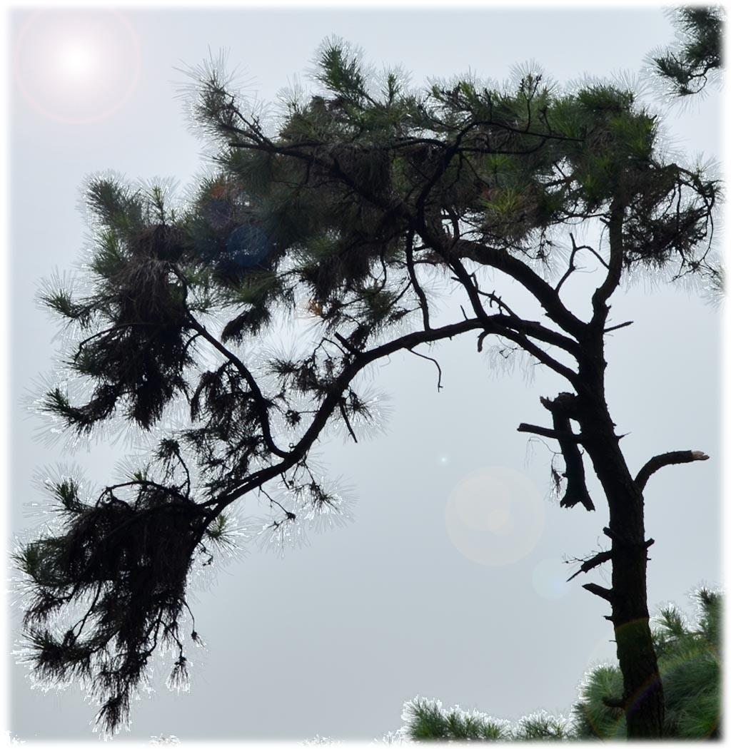 悬崖松树简笔画上色